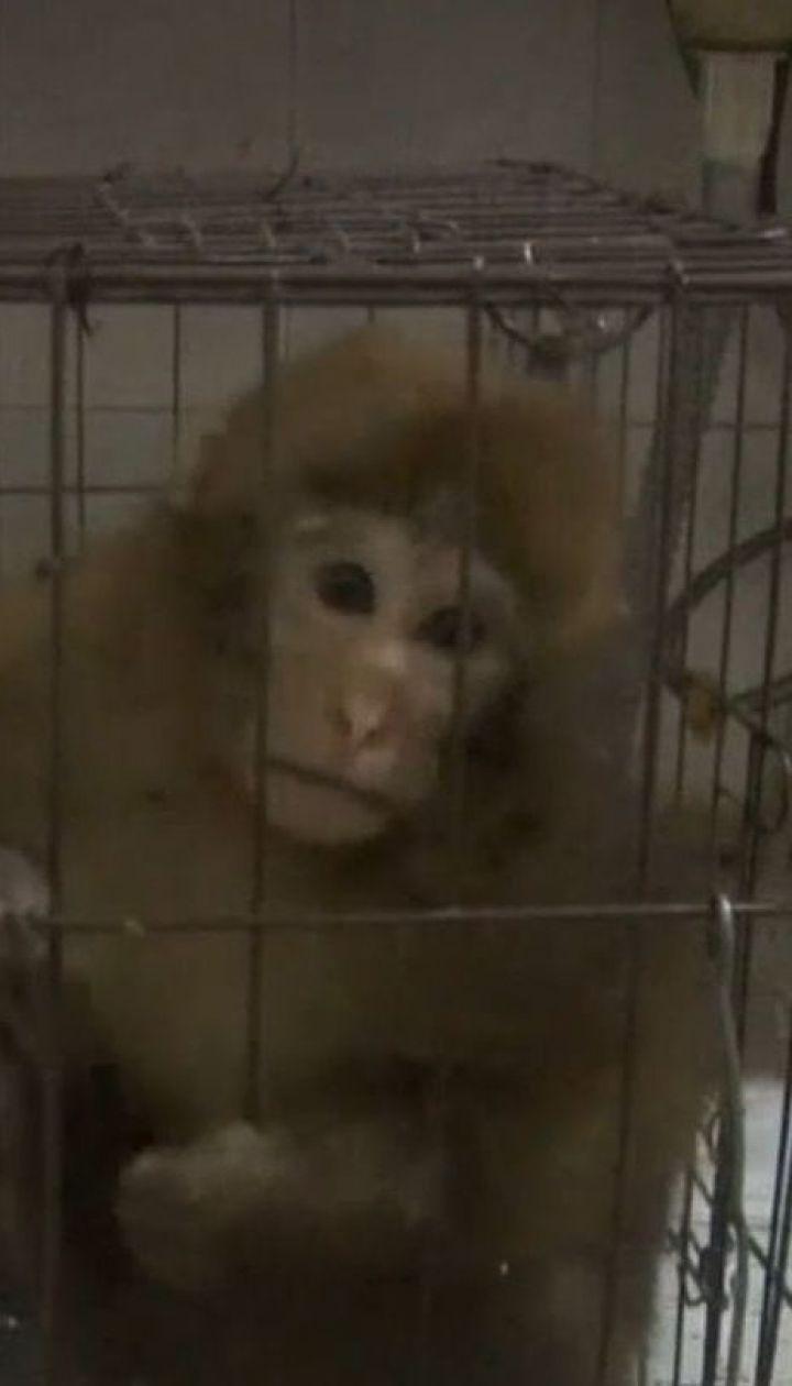 У Китаї чоловік три місяці доглядав за пораненим рідкісним мавпеням