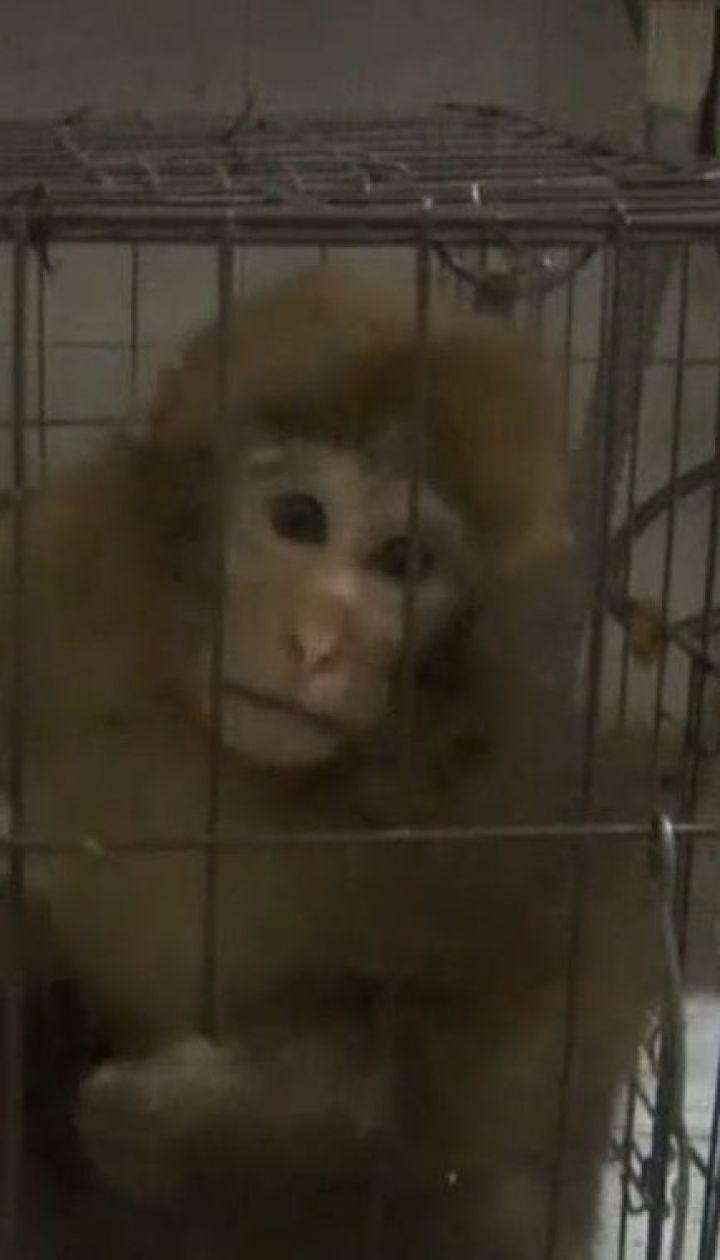 В Китае мужчина три месяца ухаживал за раненой редкой обезьянкой