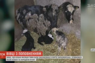 """Счастливое пополнение: овцы из """"фуры смерти"""" родили первых ягнят"""