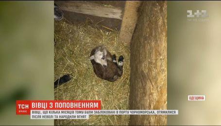 Вівці, яких врятували із заблокованої в порту фури, народили перших ягнят