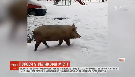 У Рівному містяни зафільмували свиню, яка розгулювала вулицями міста