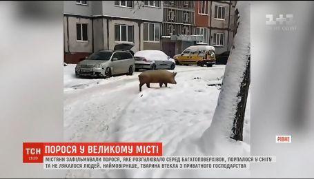 В Ровно улицам разгуливала свинья