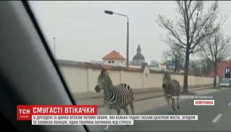 Поліція провела спецоперацію для піймання зебр, які втекли з цирку Дрездена