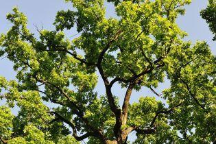 У Києві заборонили обрізати будь-які дерева, окрім аварійних