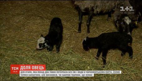 """Для овец, которые выжили в """"фуре смерти"""", закончился карантинный срок"""