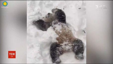 Работники Вашингтонского зоопарка обнародовали видео, на котором панда играется в снегу