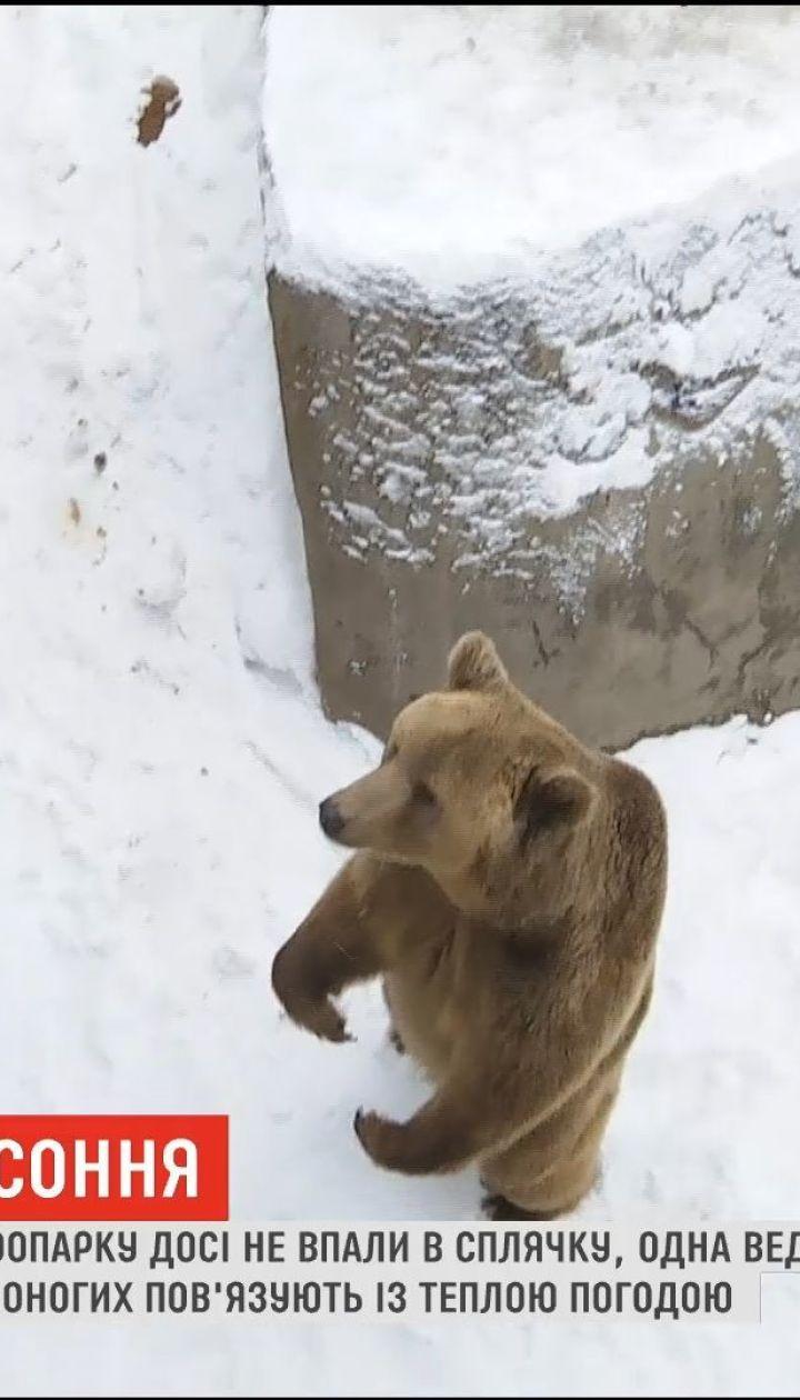 Медвежья бессонница: в Менском зоопарке медведи до сих пор не впали в спячку