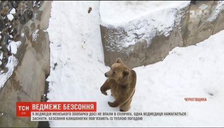 Ведмеже безсоння: у Менському зоопарку ведмеді досі не впали у сплячку