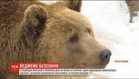 Пішли проти природи: у зоопарку на Чернігівщині ведмеді не впали у зимову сплячку