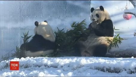 У китайському звіринці вольєр панд засипали штучним снігом