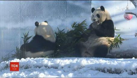 В китайском зверинце вольер панд засыпали искусственным снегом