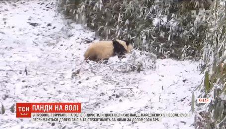 В Китае двух больших панд выпустили на волю