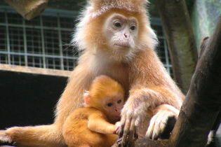 У В'єтнамі шестеро чоловіків з'їли рідкісну мавпу та транслювали процес у соцмережі