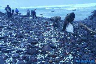 Праздник приближается. На Курилах берег завалило селедкой, люди собирают мешками
