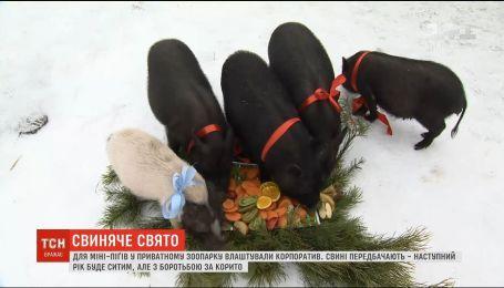 Свиное праздник: в частном зоопарке для мини-пигов устроили корпоратив