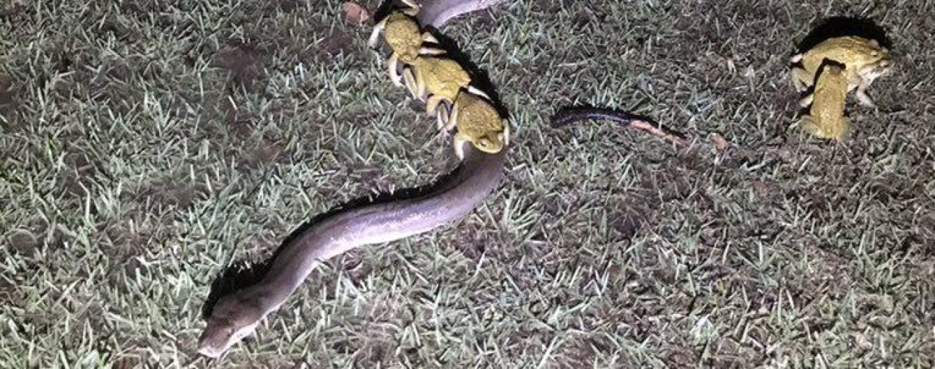 В Австралии заметили, как десять лягушек едут верхом на трехметровом питоне