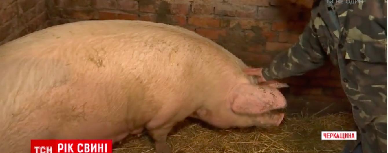 Год свиньи: как ТСН искала лучший символ 2019