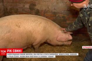 Рік свині: як ТСН шукала найкращий символ 2019
