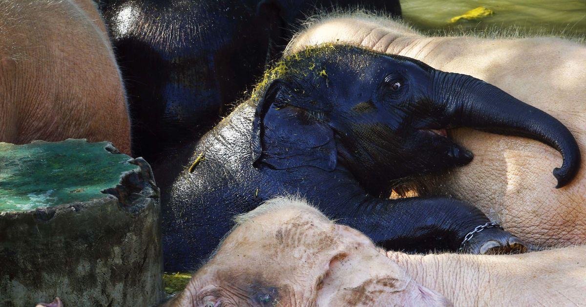 Черный слоненок прибился к стаду белых слонов. @ Reuters