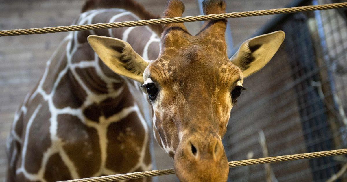 В зоопарке Копенгагена публично убили жирафа (Фото Reuters) @ Reuters