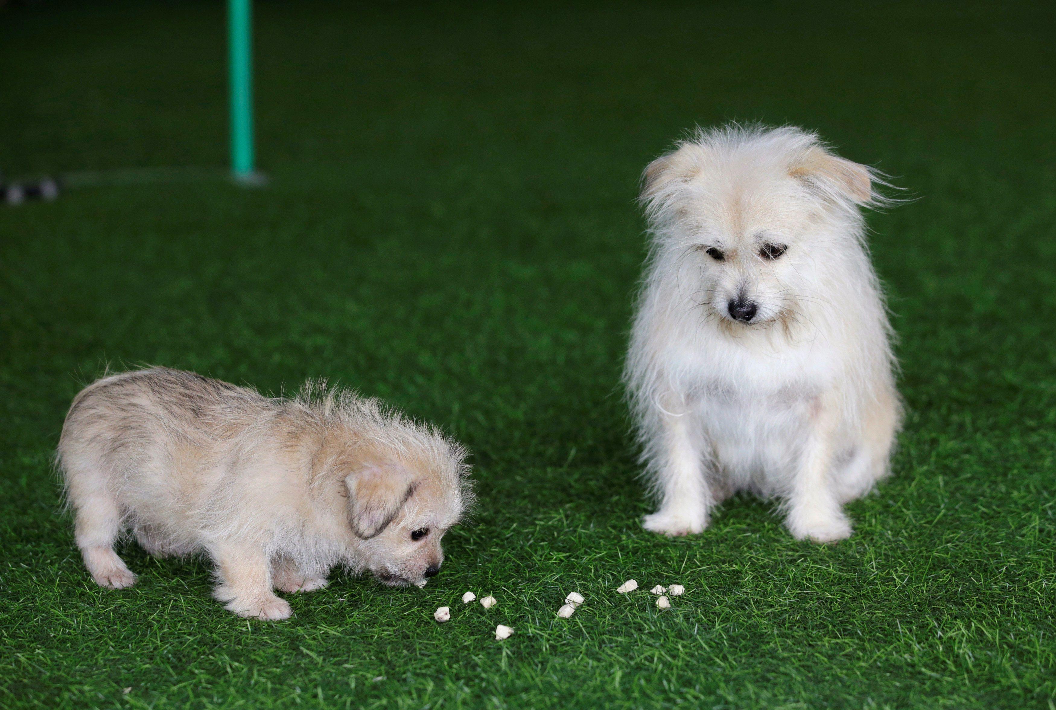 Клонування домашніх тварин у Китаї_13