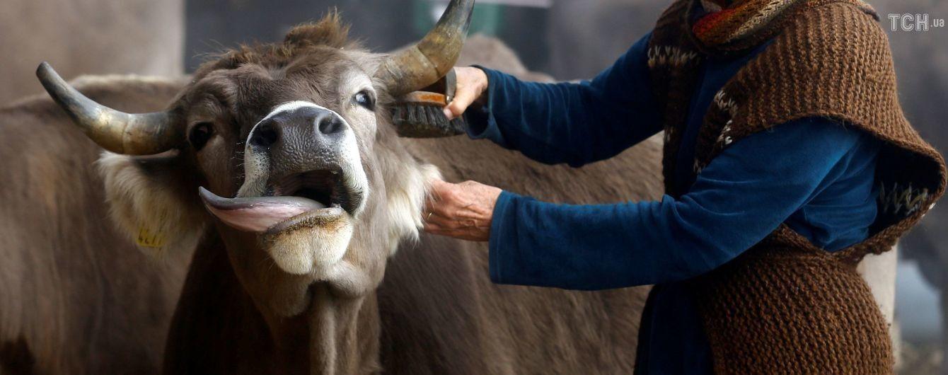 У Швейцарії на референдумі вирішать, чи потрібно коровам видаляти роги
