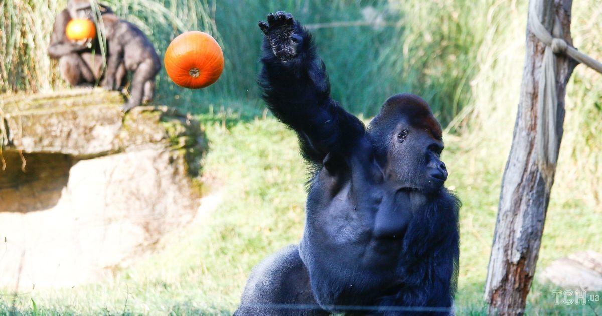 Полакомились тыквой. В Лондоне устроили Хэллоуин для обитателей зоопарка