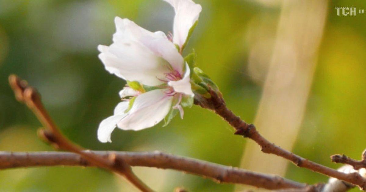 Цвітіння сакури у Японії @ Reuters