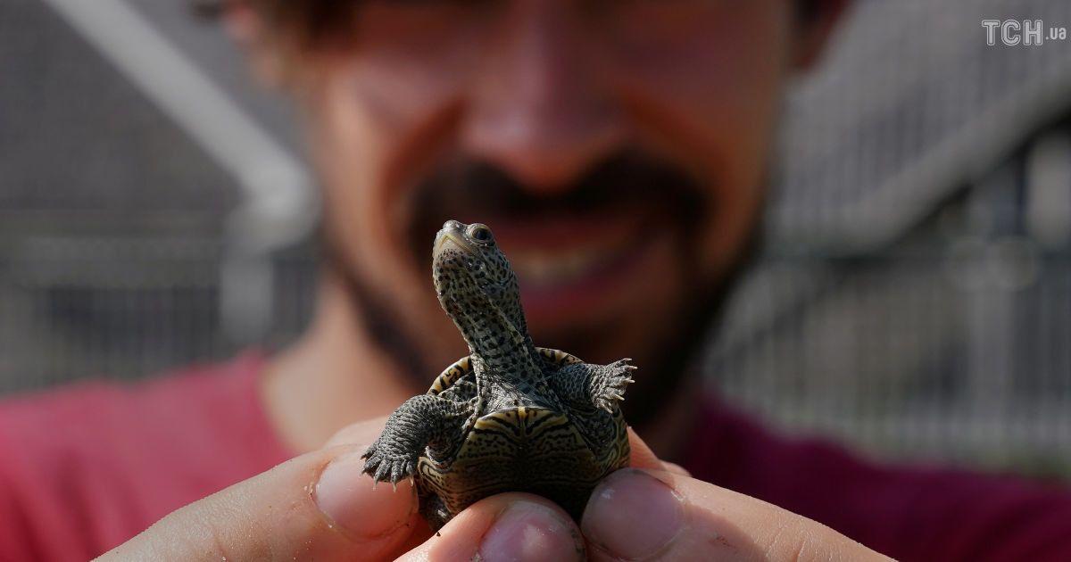 Любят соленую воду и живут 200 лет: в США выпустили в дикую природу бриллиантовых черепах
