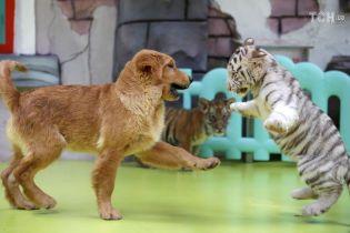 Милые малыши: в китайском зоопарке показали забавные игры тигрят с собакой