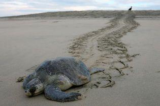 На тихоокеанском побережье Мексики нашли больше сотни трупов редких черепах