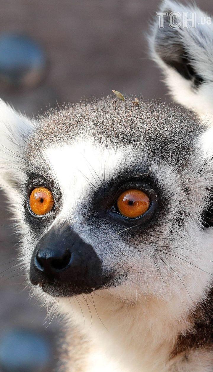 На Мадагаскарі масово гинуть лемури: які пухнасті примати опинились на межі зникнення. Інфографіка