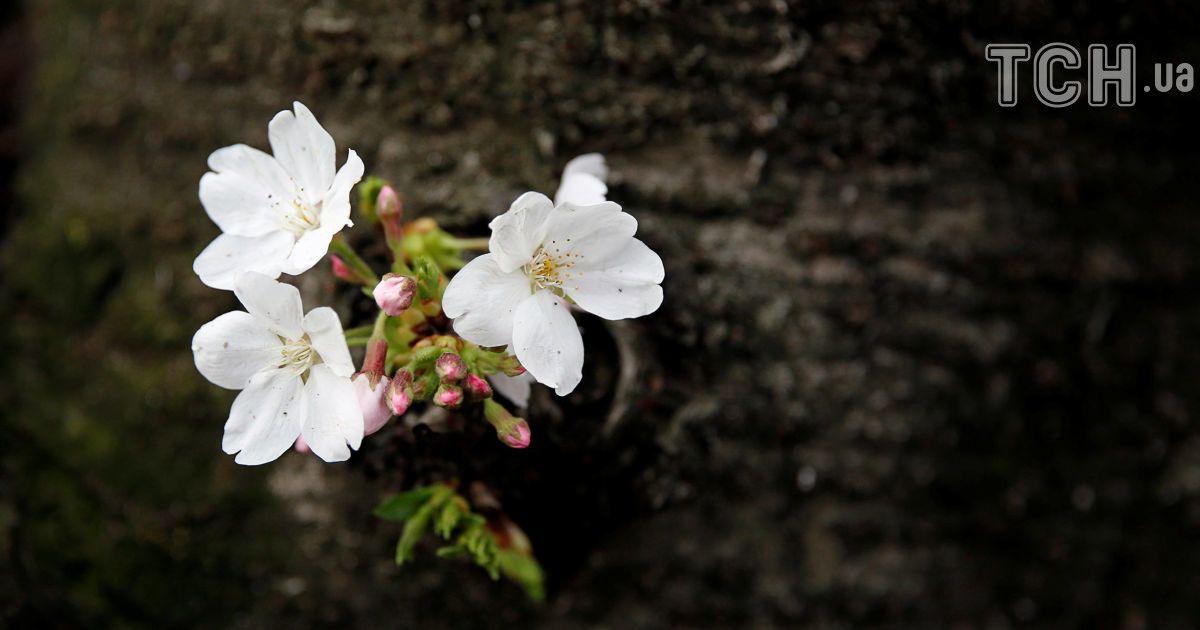 Токио охватило невероятное цветение сакуры