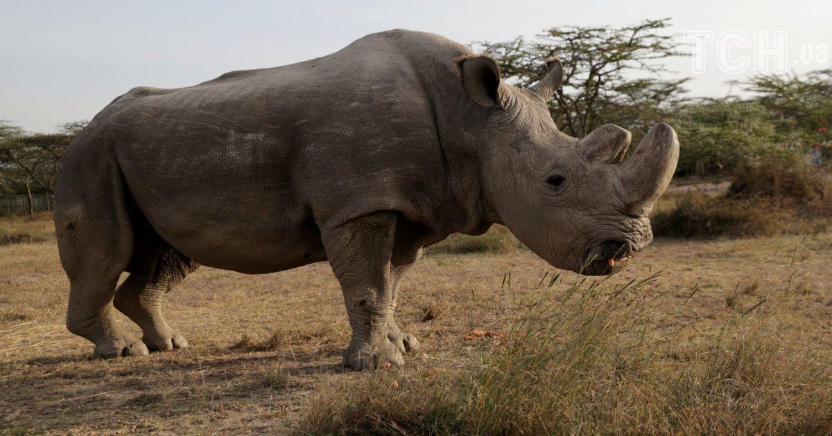 останній самець північного білого носорога
