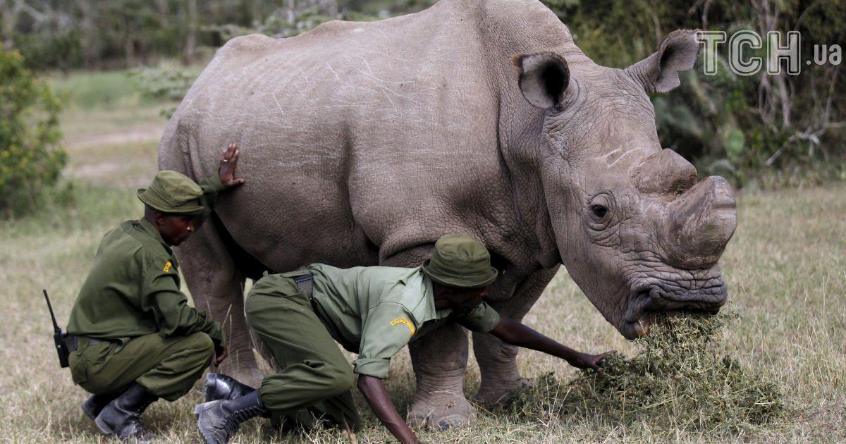 последний самец северного белого носорога @ Reuters