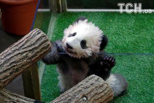 """У Китаї журналістам влаштували """"прес-конференцію""""з пандами"""