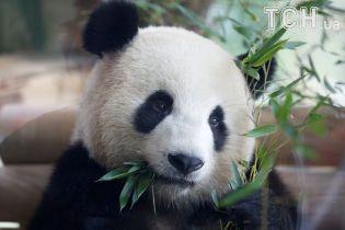 Меркель разом з президентом Китаю відвідала панд у зоопарку в Берліні