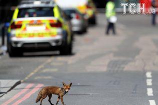 Рядом с местом теракта в Лондоне неожиданно появился испуганный лис