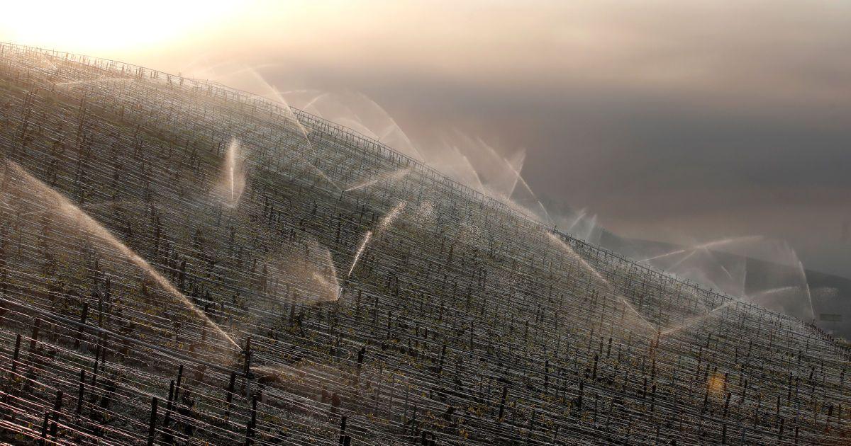 Виноград рятують від морозу @ Reuters