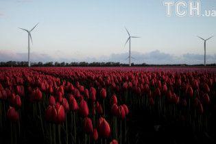 Пестрые заплаты: Reuters показало поля тюльпанов в Нидерландах с высоты птичьего полета