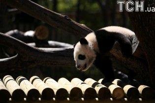 Фотограф показал прогулку забавного детеныша панды в мадридском зоопарке
