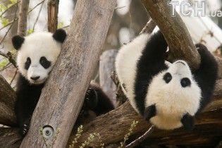 Китай підготував туристичний маршрут слідами панд