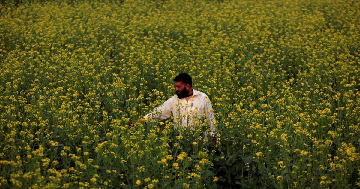 Фермер перевіряє стан його квітів на полі в Чарсадді, Пакистан. @ Reuters