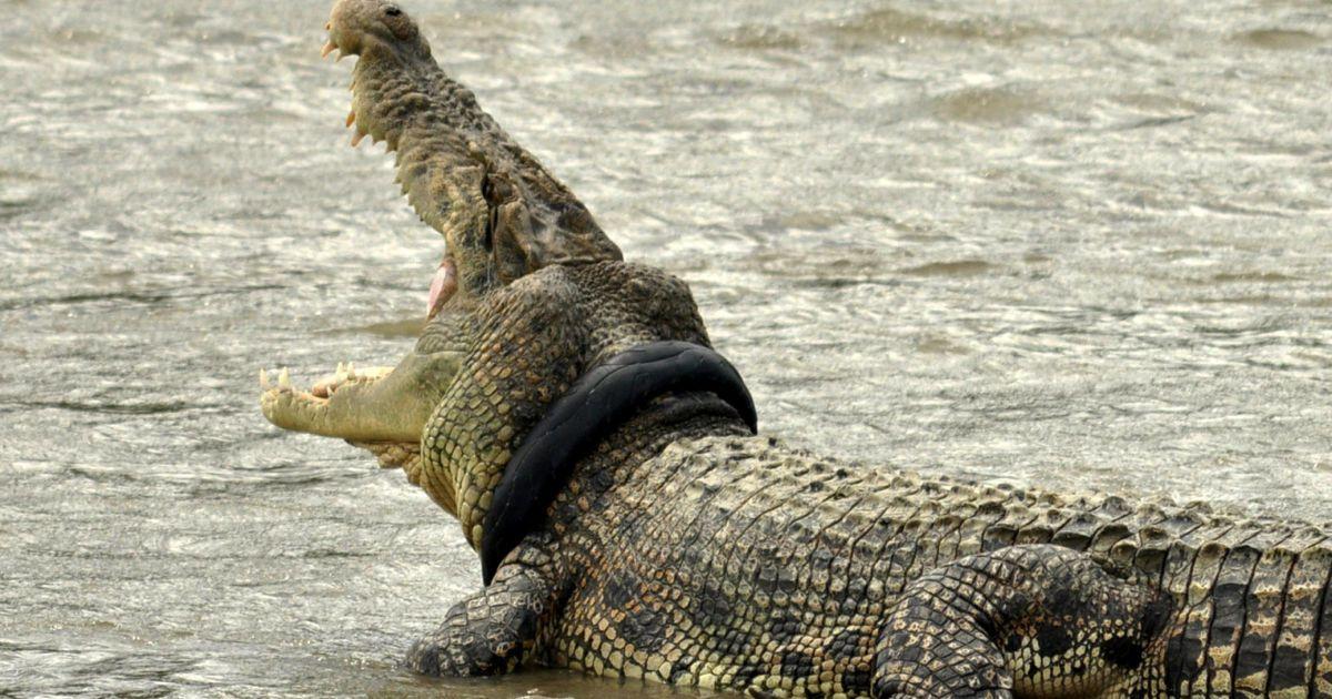 Крокодил с шиной с мотоцикла вокруг шеи в реке в Палу, провинция Центральный Сулавеси, Индонезия. Крокодил носит эту шину с сентября этого руку, но ее не могут снять из-за отсутствия оборудования и специалистов @ Reuters