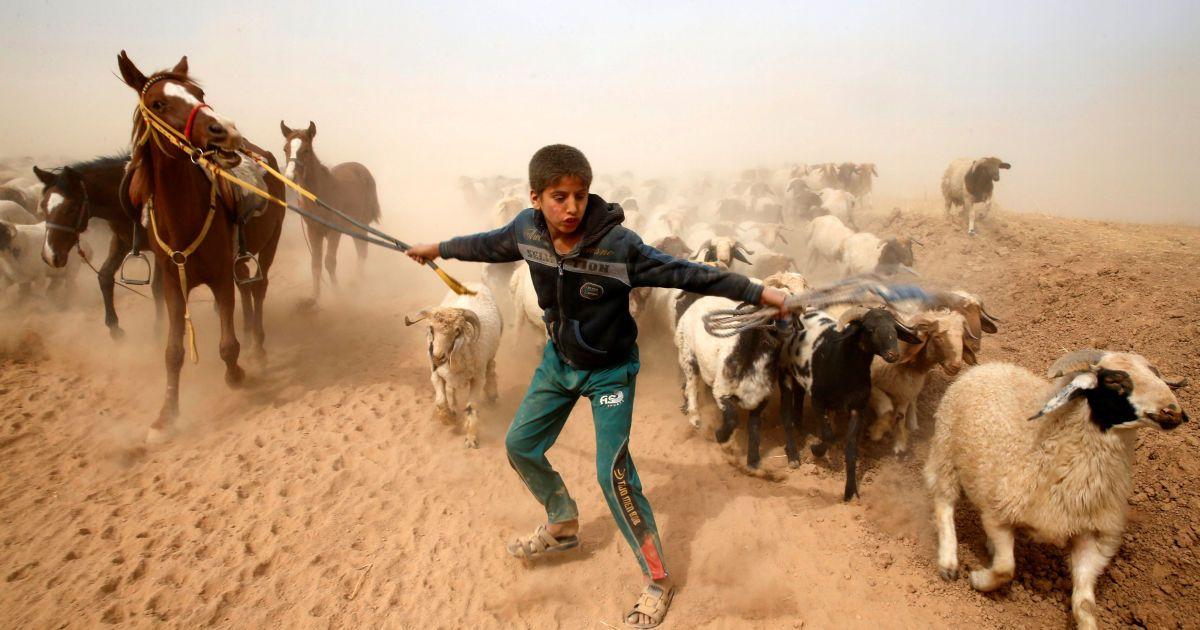 """Переміщений іракський хлопчик веде своїх тварин в безпечне місце після втечі з контрольованого бойовиками """"ІД"""" села поруч із Мосулом. @ Reuters"""