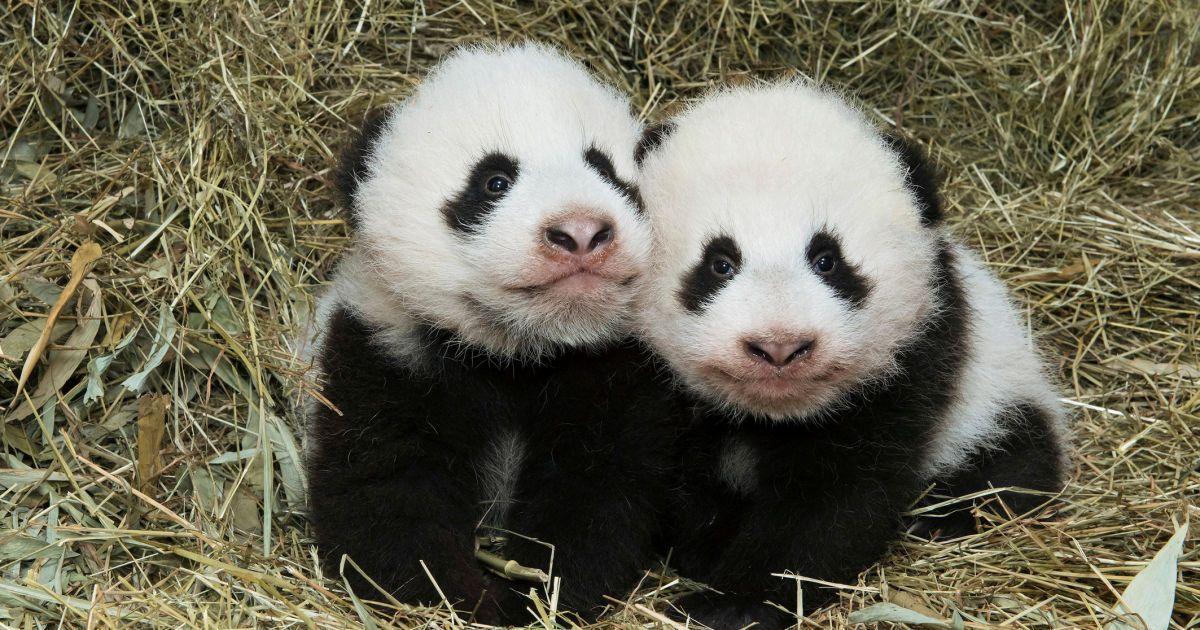 Детеныши-близнецы гигантской панды в зоопарке Шенбрунн в Вене, Австрия. Детеныши родились в августе, но только сейчас зоопарк обнародовал фото маленьких панд. @ Reuters