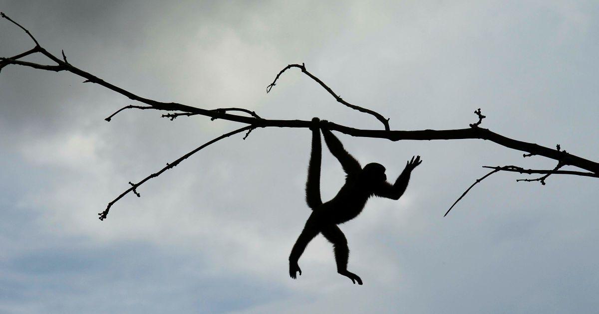 Білкова мавпа у природному парку в Нуева Лой, Еквадор. @ Reuters