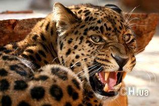 В Индии хищник украл ребенка на глазах у матери