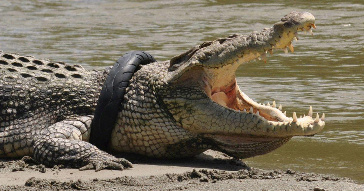 Крокодил з шиною мотоцикла навколо його шиї на річці у Палу, провінція Центральний Сулавесі, Індонезія. Місцеві жителі підозрюють, що шина була викинута в річку в якості сміття і стала пасткою для крокодила. @ Reuters