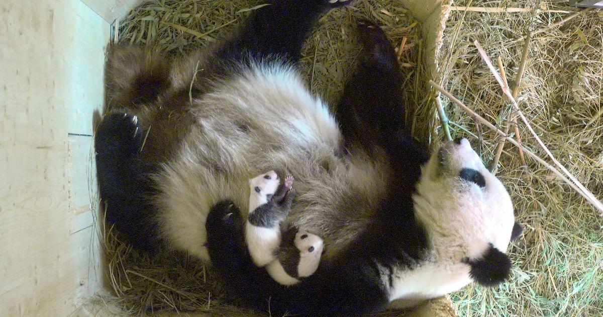 """Панда Ян Ян та її близнята, які народилися 7 серпня, лежать у коробці розмноження всередині їх корпусу в зоопарку """"Шенбрунн"""" у Відні, Австрія. @ Reuters"""